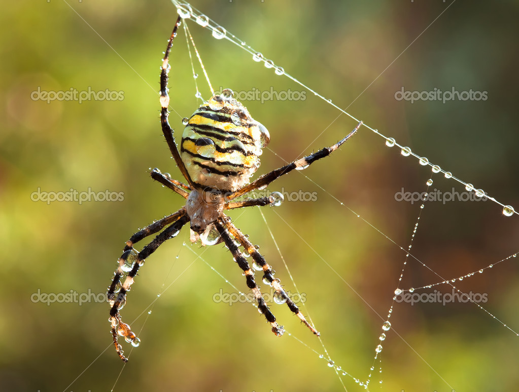 Striped spider on web. Summer morning wildlife scene. Close-up