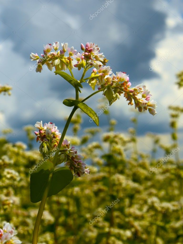 Buckwheat inflorescence on the field. Vertical