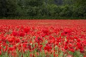 Fotografie Poppies