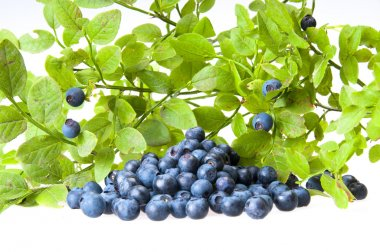 Bilberries and the branch of an bilberry bush