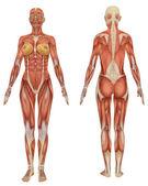 weibliche muskulöse Anatomie von vorne und von hinten