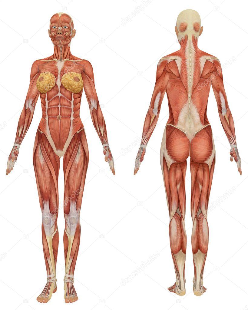anatomía femenina muscular frontal y vista trasera — Fotos de Stock ...
