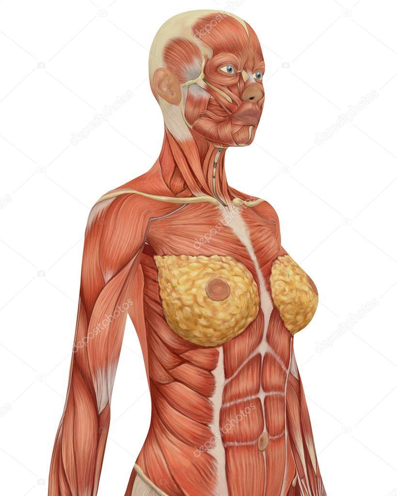 anatomía femenina muscular superior vista angular del cuerpo — Foto ...