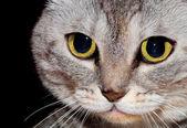 házi macska