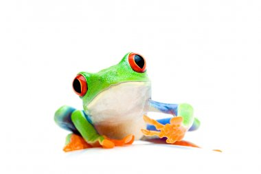 Frog curious isolated on white