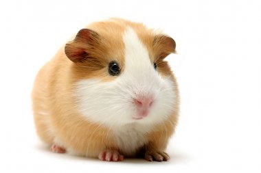 Guinea pig over white