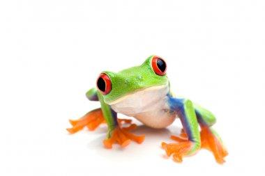 Frog closeup on white