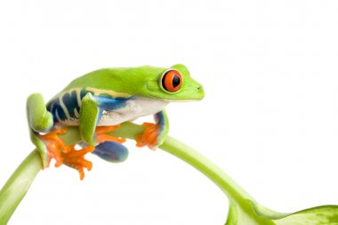 Frog on stem isolated