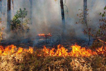 Photo pour Grand feu des arbres dans un bois avec une fumée et une flamme - image libre de droit