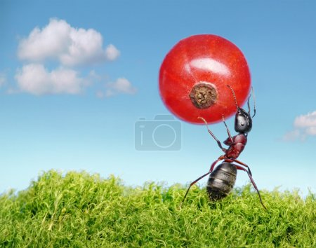 Ant carries red currant