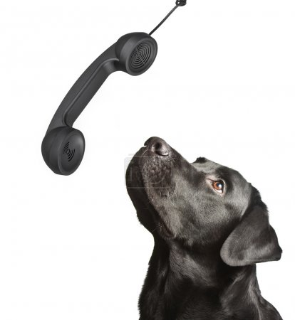 Dog black labrador looks upwards on phone tube.