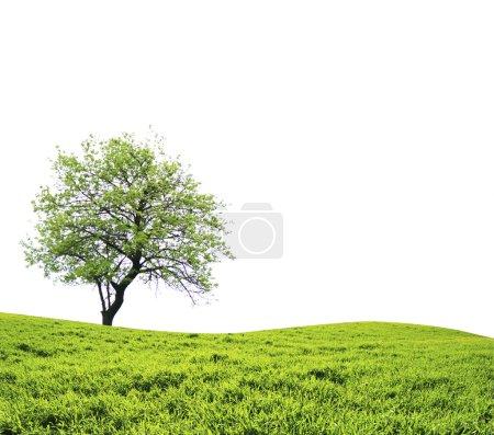 Photo pour Arbre aux feuilles vertes isolé sur fond blanc - image libre de droit