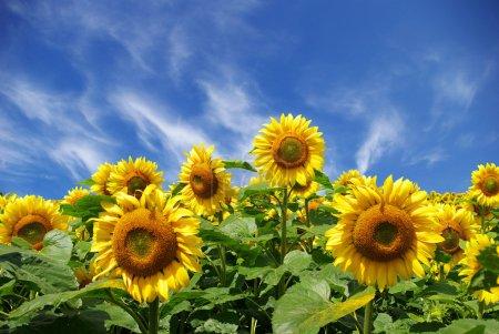 Photo pour Champ de tournesol sur ciel bleu nuageux - image libre de droit