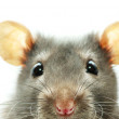 Funny rat isolated on white background...