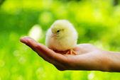 Chicken in hand