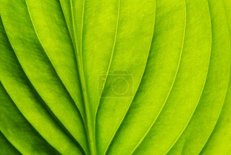 Photo for Texture of a green leaf as background - Royalty Free Image