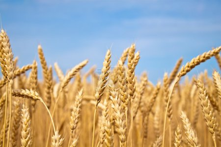 Photo for Gold wheat field - Royalty Free Image