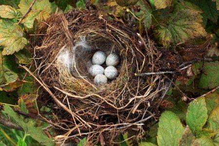 Bird nest with eggs