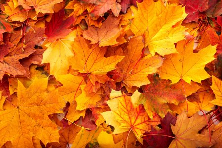 Photo for Background group autumn orange leaves. Outdoor. - Royalty Free Image