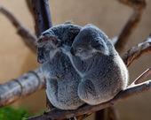 Koaly mazlení na větvi