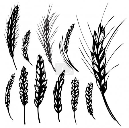 Illustration for Vector illustration of rye and wheat over white backgriound - Royalty Free Image