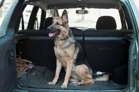 Alsatian dog in back seat of car.