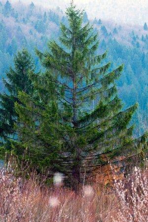 A spruce