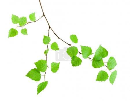 Foto de Rama verde sobre blanco filosófico - Imagen libre de derechos