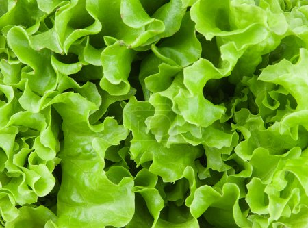 Photo for Fresh lettuce leaves closeup - Royalty Free Image