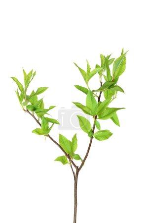 Foto de Rama de hojas jóvenes aislados en fondo blanco con trazado de recorte - Imagen libre de derechos