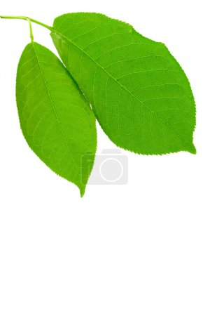 Photo for Green wet leaves isolated on white background - Royalty Free Image