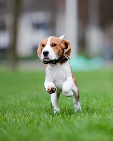 Puppy jumping and running