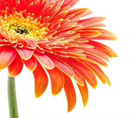 Photo pour Fleur de gerbera orange isolé sur fond blanc - image libre de droit