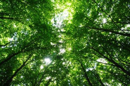 Photo pour Arbres dans une forêt verte au printemps - image libre de droit