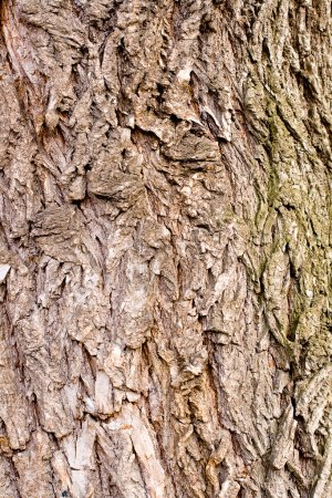 Photo for Old bark of tree texture detail - Royalty Free Image