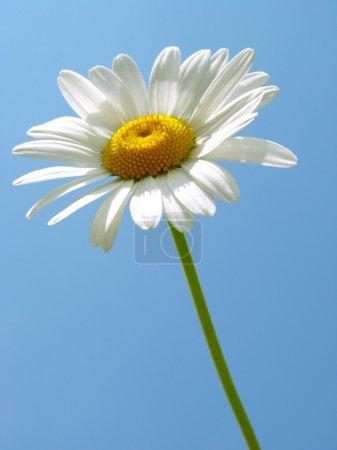 Single daisy