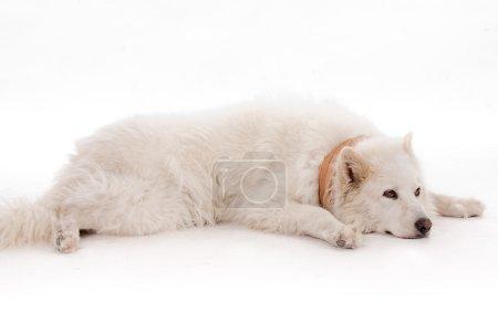 White dog relaxing on the floor