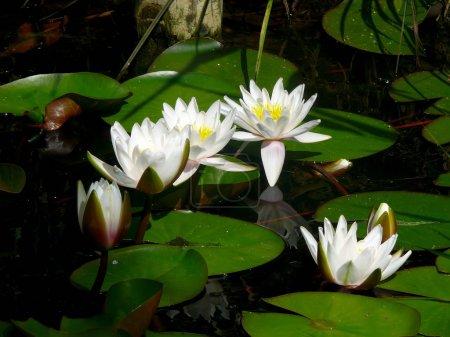 White waterlily. A pond.