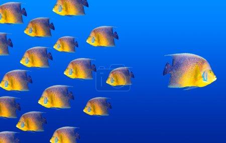 Photo pour Goind concept de manière différente avec des poissons-anges - image libre de droit