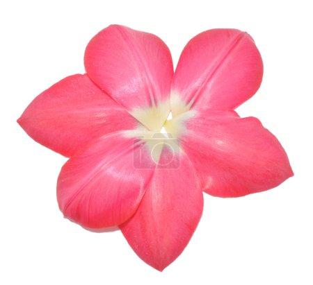 Petals of tulip as a flower