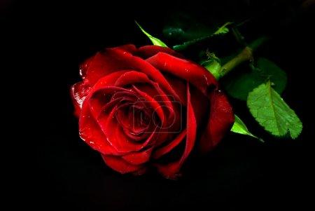 Photo pour Rose rouge sur fond noir - image libre de droit
