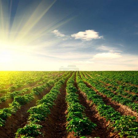 Photo for Potato field on a sunset under blue sky landscape - Royalty Free Image