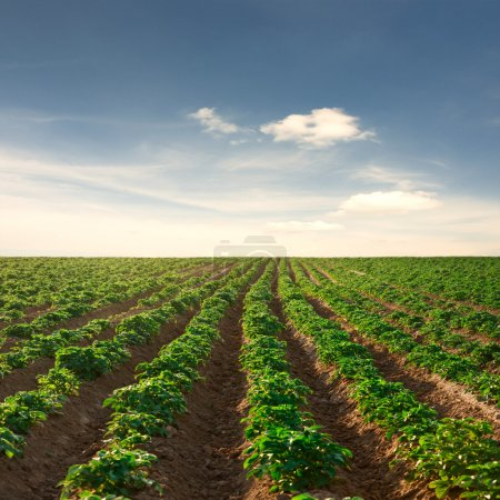 Photo for Potato field on a sunset under blue sky landscape - Royalty Free Image