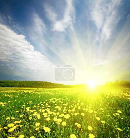 Photo for Field of grass with dandelion on background distant wood in sunset - Royalty Free Image