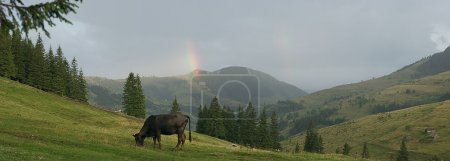 Bull on the montain pasture in ukrainian