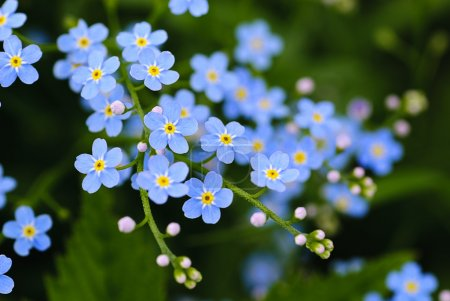 Photo for Meadow plant background: blue little flowers close up and green grass. Shallow DOF - Royalty Free Image