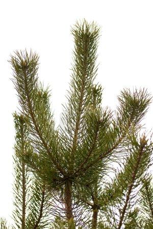 Photo pour Branche d'arbre de pin jeune - image libre de droit