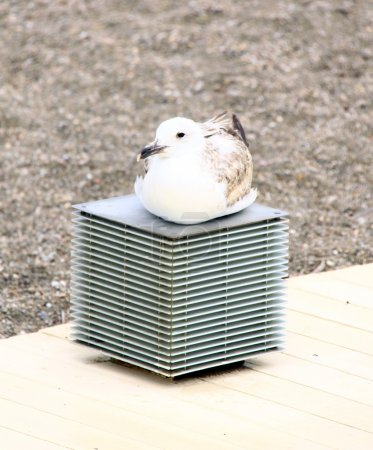 Photo for Close up of a seagull - Royalty Free Image