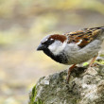 Single sparrow sitting on a stone...