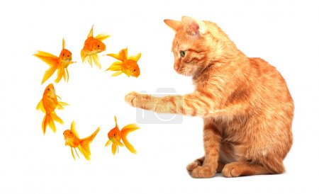 Cat playing with goldfishes isolated on white back...